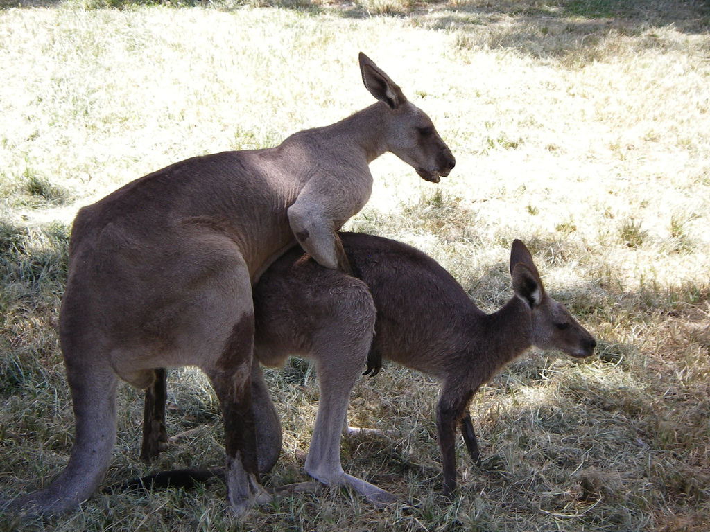 photograph of mating kangaroos