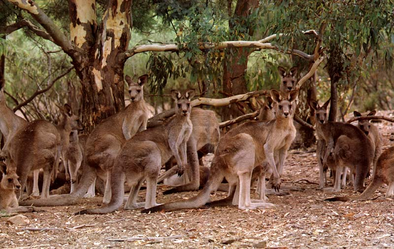 picture of a troop of kangaroos