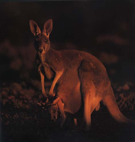 picture of a cute kangaroo