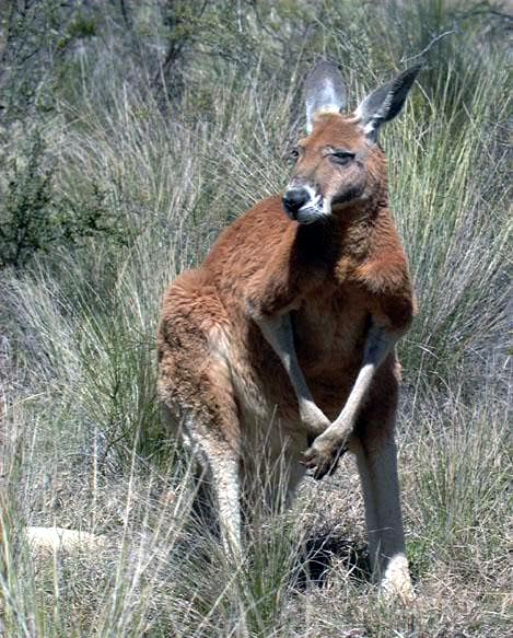 photograph of a kangaroo