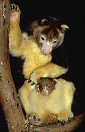 photograph of Matschie's tree kangaroo