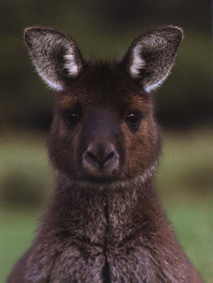 photograph of grey kangaroo